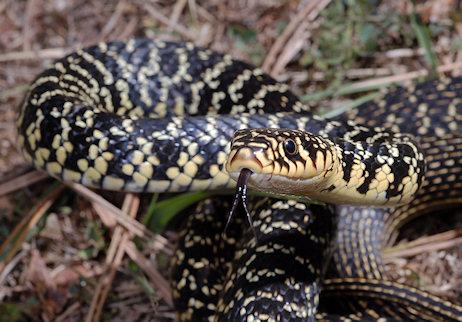 l onorevole calderoli uccide un serpente internet si