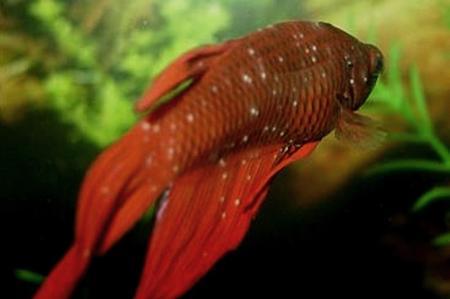 Malattie dei pesci diagnosi e riconoscimento diario di for Pesci per laghetti esterni