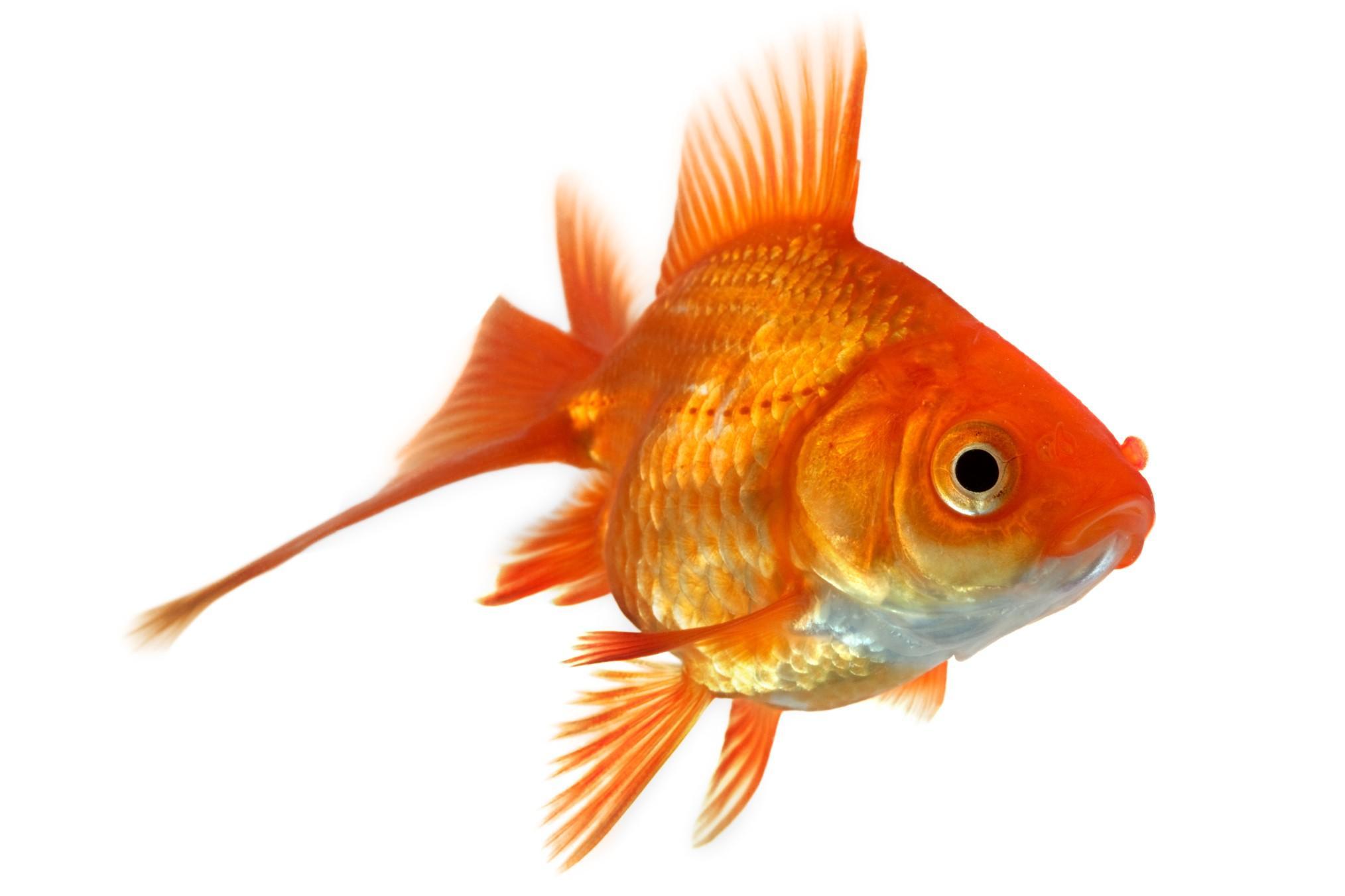 malattie dei pesci diagnosi e riconoscimento diario di
