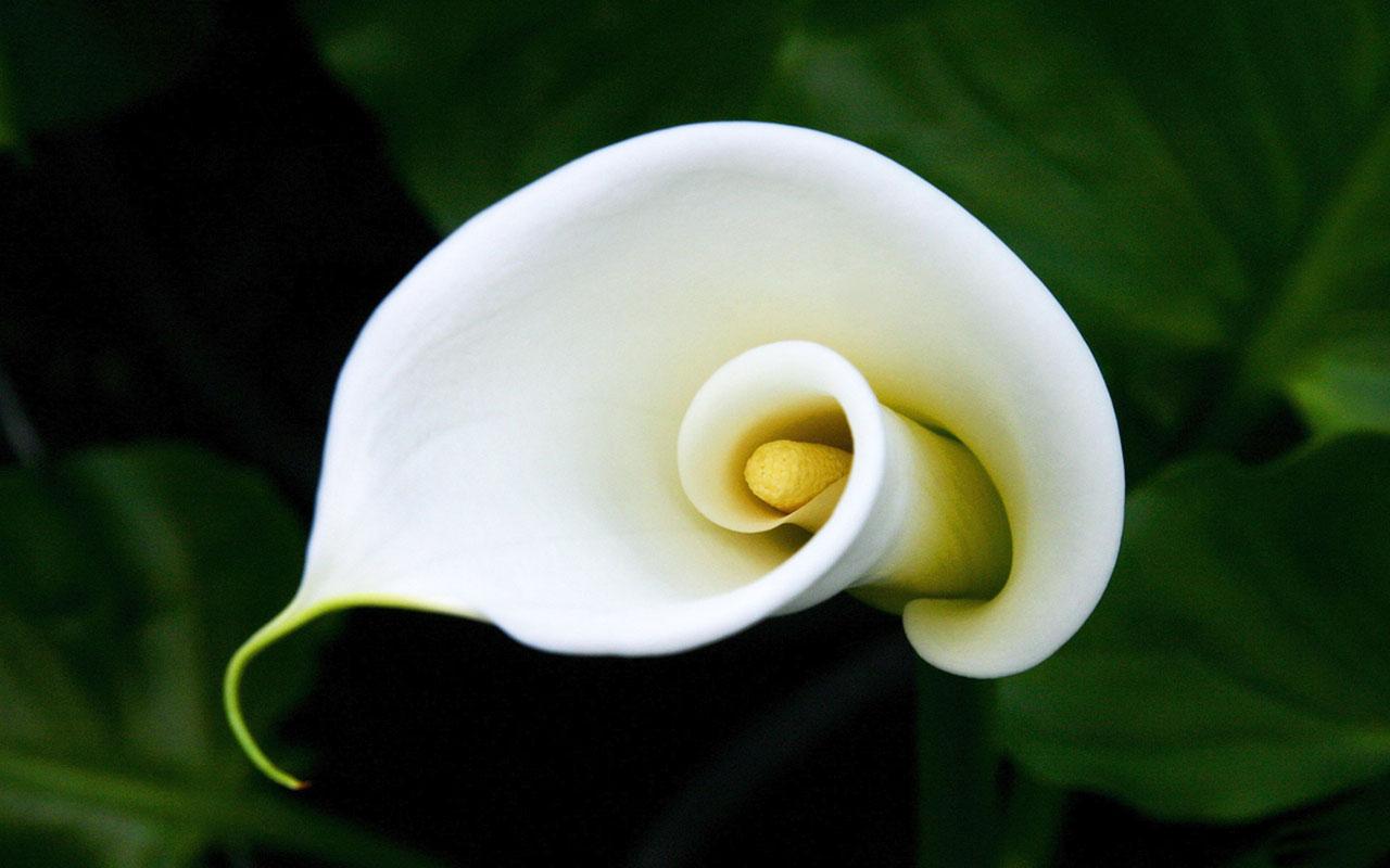 Calla coltivazione diario di una pensatrice for Calla pianta