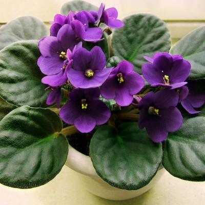 Violetta africana cure diario di una pensatrice for Violetta africana